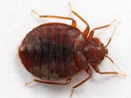 What Do A Bed Bug Look Like South Florida Bed Bug Identification And Bed Bug Control Guide