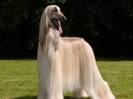 afghan hound apartment afghan hound white dog breeds pinterest afghan hound hound