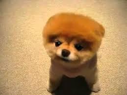 Bob Frisuren Bild Der Frau by Boo Der Süßeste Hund Der Welt