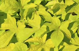 sweet potato with yellow leaves how to fix yellow leaves on