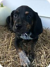 is a bluetick coonhound a good pet alma is an adoptable bluetick coonhound searching for a forever