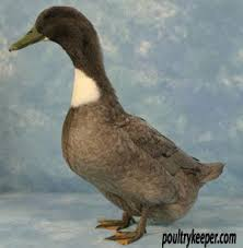 39 best ducks breeds images on duck breeds duck