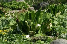 Tropische Pflanzen Im Garten Lysichiton Camtschatcensis Weiße Scheinkalla Kamtschatka