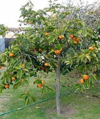 241 best fruit citrus trees images on fruit