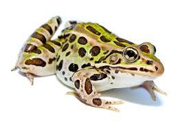 frog simple english wikipedia the free encyclopedia