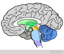 Image Of Brain Anatomy Brain Anatomy Image Gallery Dynamicbrain