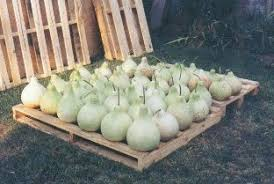 how to gourds drying the gourds you grew