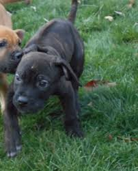 american pitbull terrier rhodesian ridgeback mix view ad cane corso rhodesian ridgeback mix puppy for sale ohio
