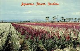 the japanese american flower growers who made phoenix bloom