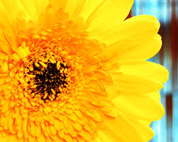 yellow daisy wallpapers gerbera daisy wallpapers group 67