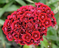Sweet William Flowers Annual Plants A Quiz About Using Them In Beds And Borders