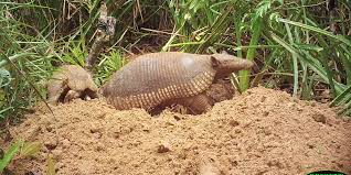 it u0027s a boy a giant armadillo named tim