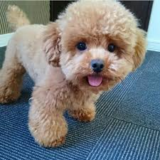 different toy poodle cuts 22 best poodle images on pinterest poodles poodle cuts and