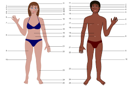 Anatomy Of Human Body Pdf Clipart Human Body Both Genders With Numbers