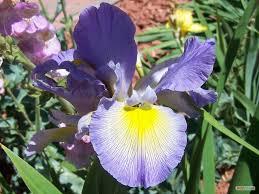 Iris by Sun Country Iris Society