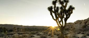 mojave desert native plants the mojave project kcet