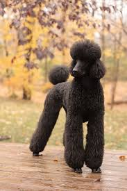 standard poodle hair styles 15 poodles with better hairstyles than you poodles pinterest