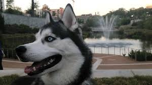 american pitbull terrier vs siberian husky 99 fun facts about siberian huskies pawedin