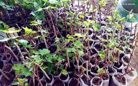 How To Grow Grapes In Your Backyard by When In La Union Experience Life In A Grape Farm Choose