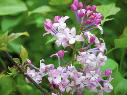 Lilac Flower by Pruning Lilacs Timing Is Critical If You Want Blooms Next Year
