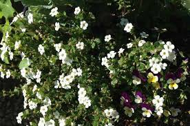 Shrub Small White Flowers - best container plants bacopa birds and blooms