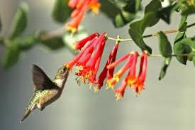 Hummingbird Flowers Plants That Attract Hummingbirds 3 Plants That Attract