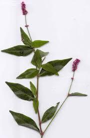 native pa plants smartweed big seeded smartweed pink knotweed pinkweed