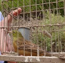 uccelli in gabbia gabbie trappola per ortolani komitee gegen den vogelmord e v