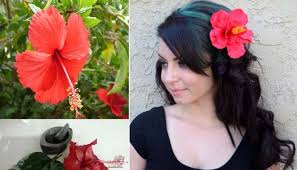 flower for hair hibiscus flower and hibiscus leaves for hair growth health claps
