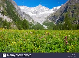 mountain backdrop switzerland valais val ferret a colourfull flower meadow