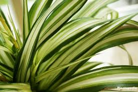 Spider Plant by Spider Plant Chlorophytum Comosum How To Grow And Care