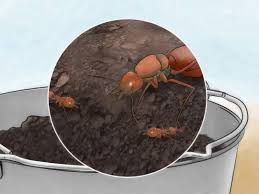 how to catch a queen ant 11 steps with pictures wikihow