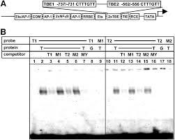 β catenin up regulates the expression of the urokinase plasminogen