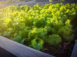 Fall Garden North Texas - 17 crops to plant in north texas right now to guarantee veggie