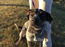 bluetick coonhound rescue illinois bluetick coonhound dogs for adoption in usa