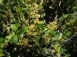 frangula californica wikipedia rhamnus ilicifolia wildflowers in santa barbara