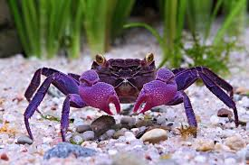 two vampire crab species found are already popular pets
