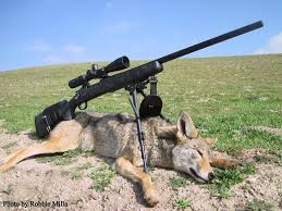 Coyote Hunting Lights California Coyote Hunting Seasons Laws And Hunting Locations