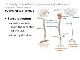 How Does A Reflex Arc Work In A Nervous System Nervous System