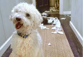 bichon frise intelligence how to tell if your dog is intelligent petmd