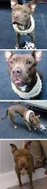 american pitbull terrier qualities 10 best suzie images on pinterest crosses animals and collie