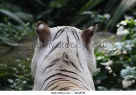 detail tiger stock photos detail tiger stock images alamy