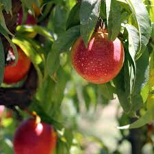 weekly fruit delivery organic california nectarines weekly delivery order nectarines