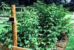 Rasberry Trellis Raspberries A Summer Treat Dave U0027s Garden