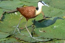 spheniscidae bird family definition