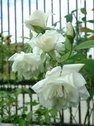 white roses for sale white roses garden exhort me