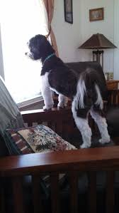 20 best shichon images on pinterest teddy bears shih tzu and