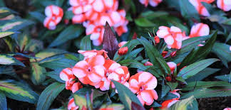 impatiens flowers impatiens new guinea costa farms