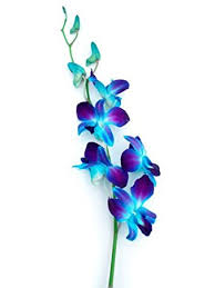 blue dendrobium orchids blue dyed dendrobium orchids by eflowerwholesale