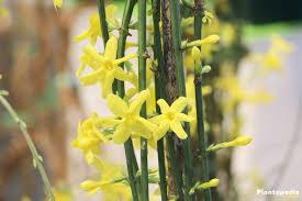 jasmine jasminum plant how to grow and care indoor outdoor